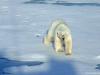 polar-bear_1_svalbard_norway