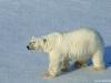 polar-bear_2_svalbard_norway