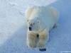 polar-bear_3_svalbard_norway