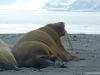 walrus_1_svalbard_norway