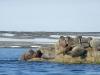 walrus_2_svalbard_norway